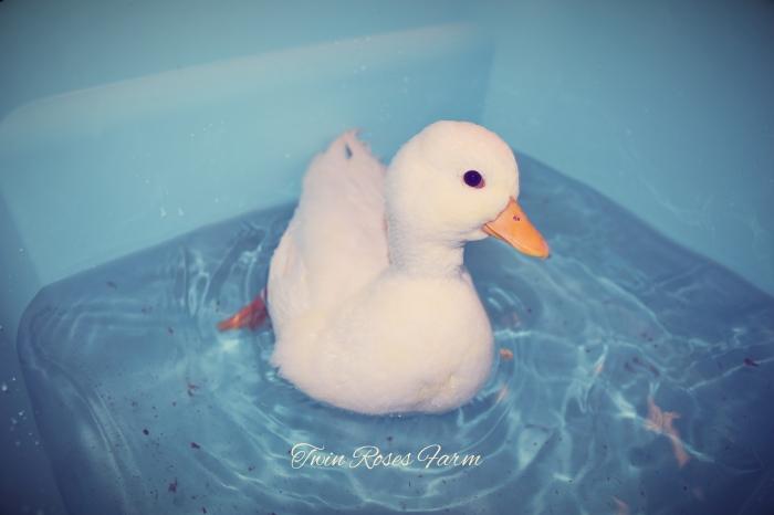 Call Ducks – Twin Roses Farm